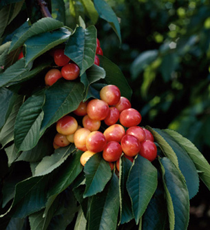 Ranier Cherries Photo