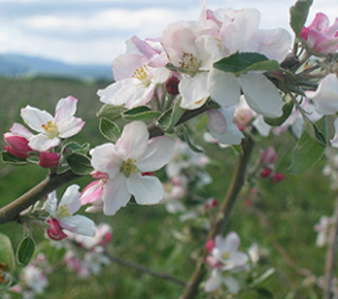 Peach tree blossoms photo