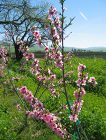 Peach tree bloooming photo